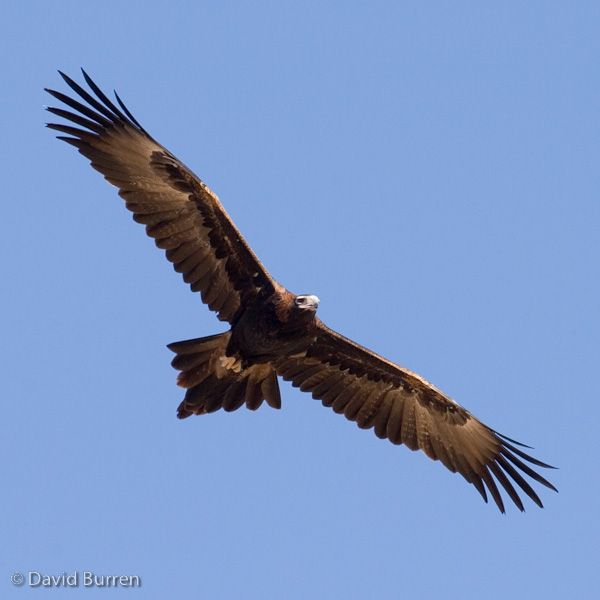 Wedge tailed eagle. (my favorite raptor)