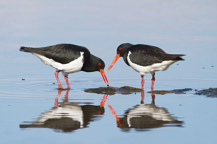 Two Pied Oystercatchers (Haematopus longirostris) in Tasmania; the one on the left is feeding on a small mussel. Although known as oystercatchers, they rarely feed on oysters. Photo: JJ Harrison File:Haematopus longirostris - Austins Ferry.jpg