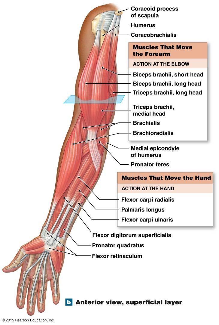 medium resolution of anterior view superficial layer of the muscles that move the forearm and hand career forearm muscle anatomy hand anatomy forearm muscles
