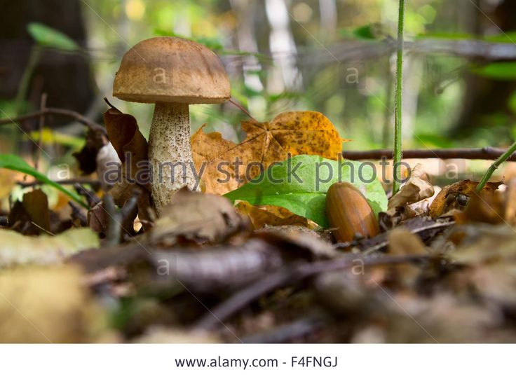 boletus edulis in the forest Stock Photo