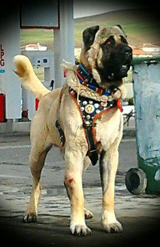 Turkish Kangal Sheppard Dog National Dog Of Turkey Great