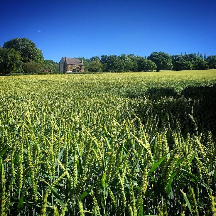 Went for a walk Theresa May style today . . . #fieldsofwheat #higham #barnsley #yorkshire #field #wheat #cottage #summer #bluesky #fieldsofgreen #naughty