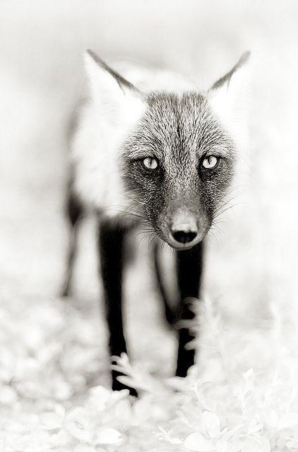 Fox Black & White