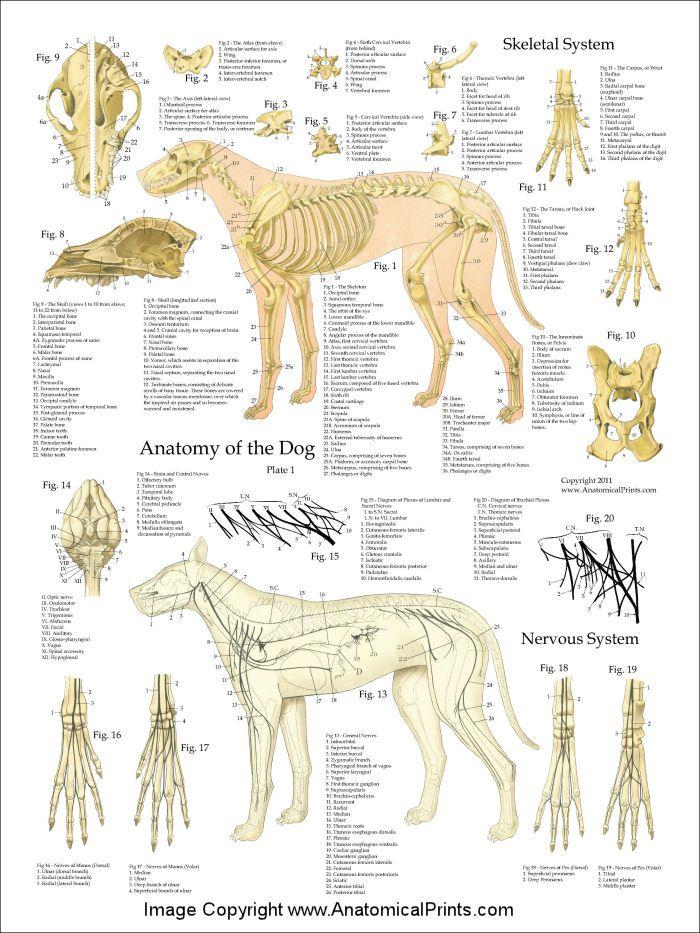 Dog Anatomy Skeleton - The Best Dog 2018