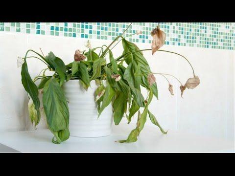 Отличный способ реанимировать ваше комнатное растение »