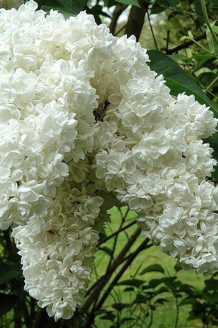 White lilac--I love lilacs and miss them terribly. It is too hot down in Louisiana for them.