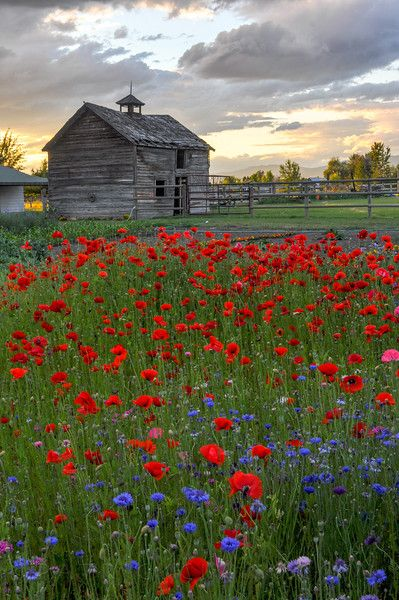 Evening Poppies