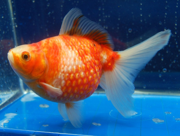 17 Best images about goldfish!♡ on Pinterest   Spawn ...