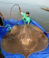 manta raya de agua dulce          los 10 peces de agua dulce mas grandes del mundo            puede llegar a medir 7 metros de longitud, es mucho más grande que el Arapaima y el Pez Gato del Mekong, aunque no es una especie exclusiva de agua dulce. Es un pez tan poco común que poco se conoce sobre su comportamiento,