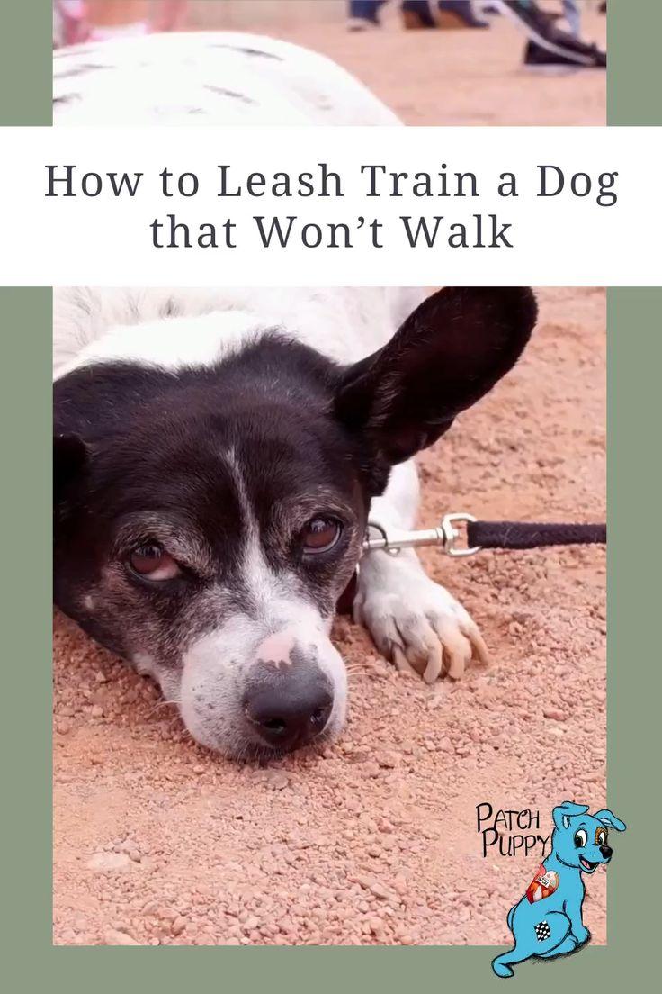How to Leash Train a Dog that Won't Walk?