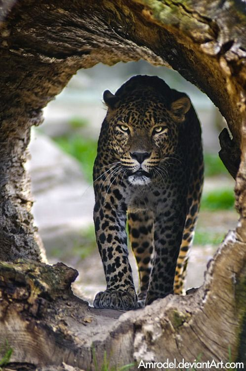 earthlynation: ༺ ♠ ŦƶȠ ♠ ༻ Sri-Lankan Leopard. Photo by amrodel