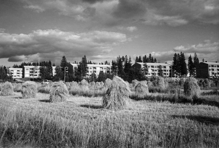 Maunula, näkymä Koivikkotielle vuonna 1952. Kuva: Helsingin kaupunginmuseo / Heikki Havas.