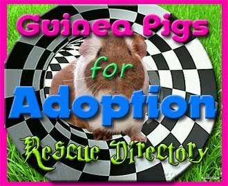 Guinea Pigs for Adoption – Guinea Pig Rescue Directory | http://abyssinianguineapigtips.com/guinea-pigs-for-adoption-guinea-pig-rescues/