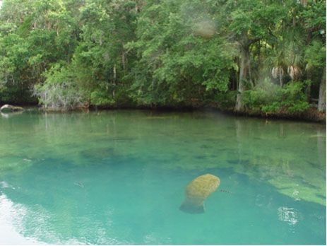 swim with the manatees - Homassa Springs, FL