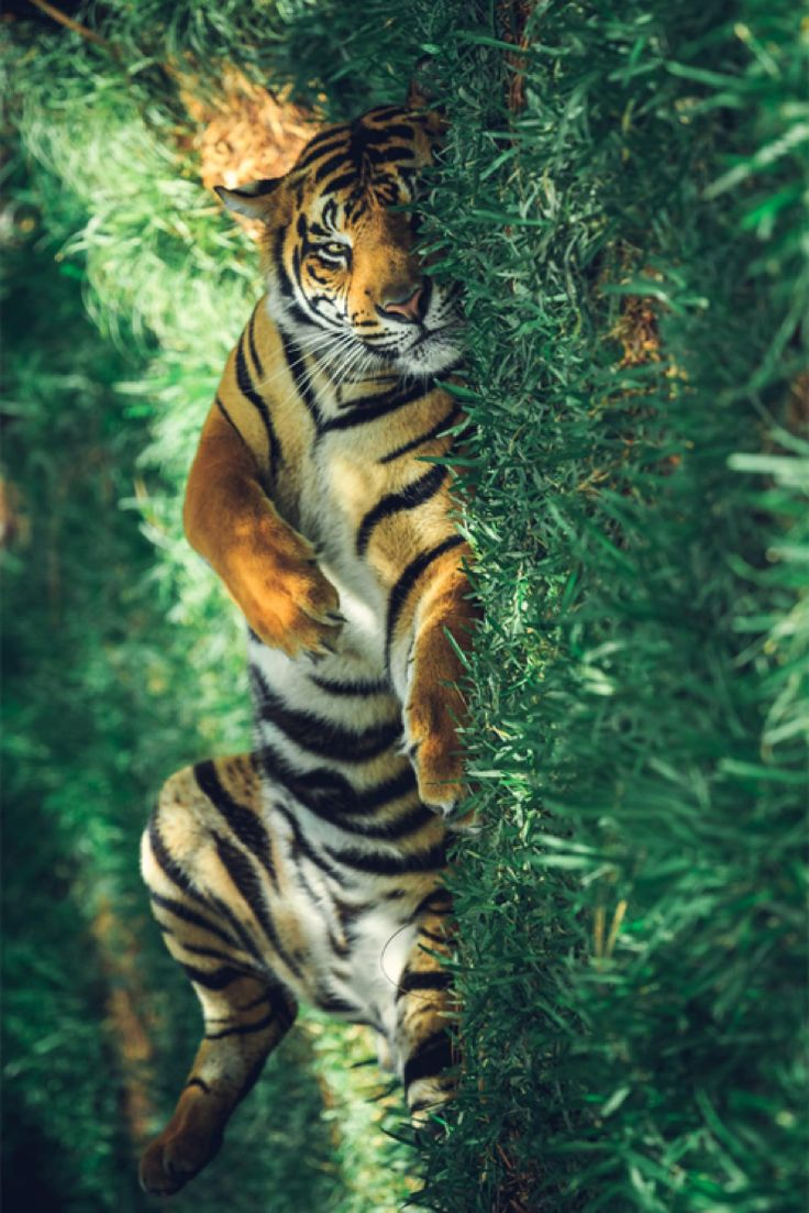 De 25+ bedste idéer til Tigerunger på Pinterest | Tigre |Bengal Tiger Tired