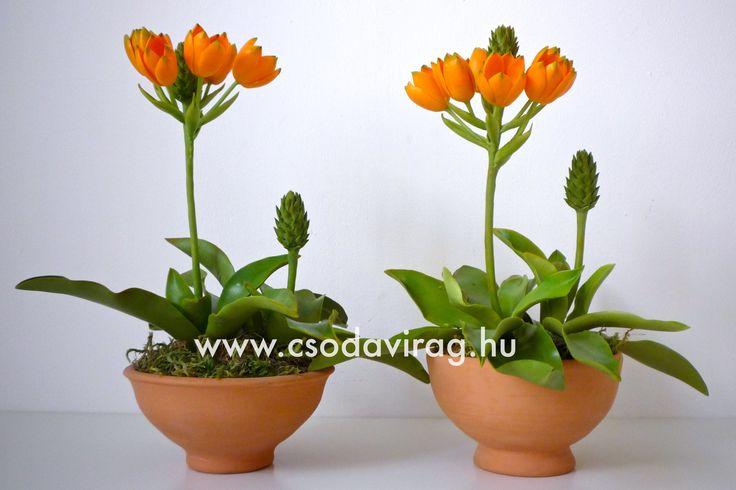 Ornithogalum dubium (Narancsszínű Madártej) - My clay flower https://www.facebook.com/Csodavirag