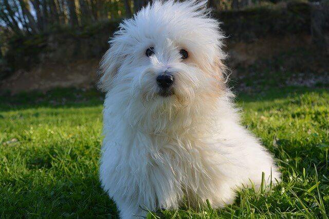 Coton De Tulear – Dog Breeds