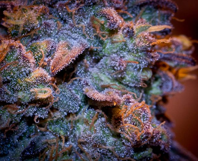 Medical Marijuana Jobs. Looking to start a career in cannabis? Get certified at the premier cannabis certification program! Cannabis Training University is the most affordable and informative cannabis college in the world. Learn how to grow weed from cannabis cup winning growers. Anyone can enroll from anywhere. Learn on your own schedule, any time, day or night. No prior experience or education required.  The leading marijuana school is CTU!  www.thectu.com