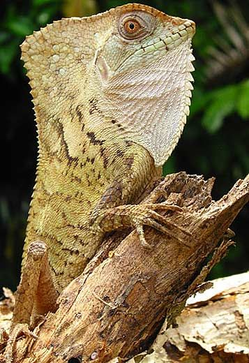 Old-Man Lizard aka Casque-Head Lizard aka Hernandez's Helmeted Basilisk (Corytophanes Hernadezi) - Belize