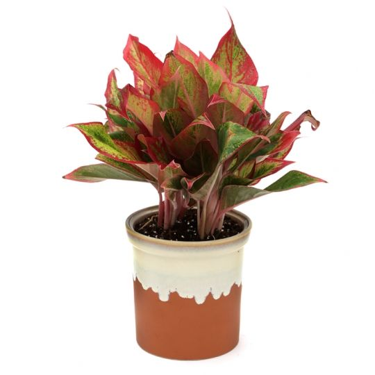 Aglaonema With Red Variegated Leaves Houseplants