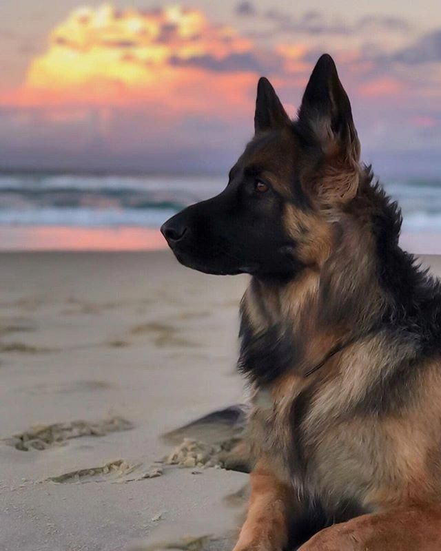 Awesome German Shepherd Info Is Available On Our Web Pages Read More And You Wont Be Sorry You Did Welpenzucht Schaferhunde Und Schone Hunde