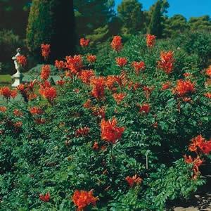 Tecoma Capensis Very Vigorous Evergreen Shrub Semi Climber With Cers Of Orange Red