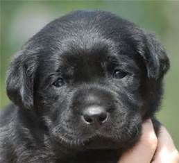 Black English Labrador Retriever Puppies - Bing images