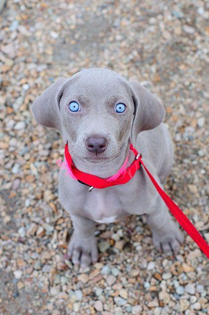 Weimaraner puppy: reminds of when Maverick was a puppy...10 years ago :(