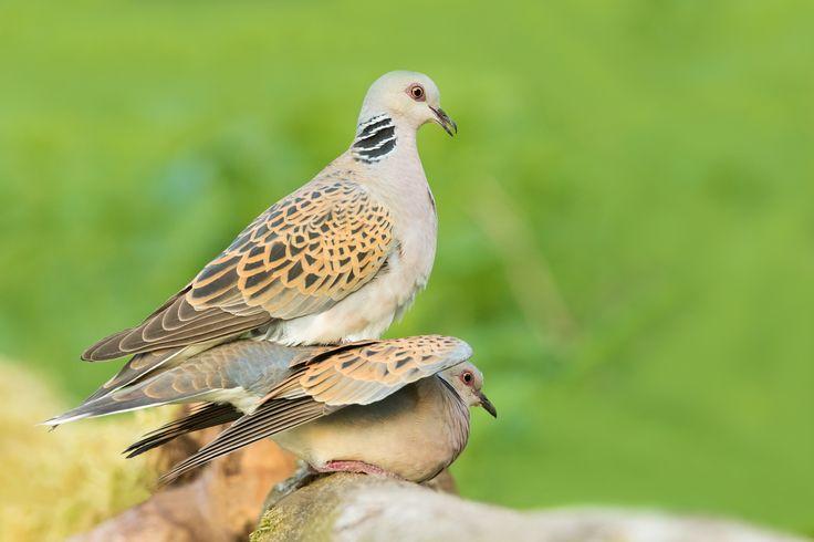 "Fotografie ""Hrdlička divoká (Streptopelia turtur) - Turtle Dove"" | Megapixel.cz"