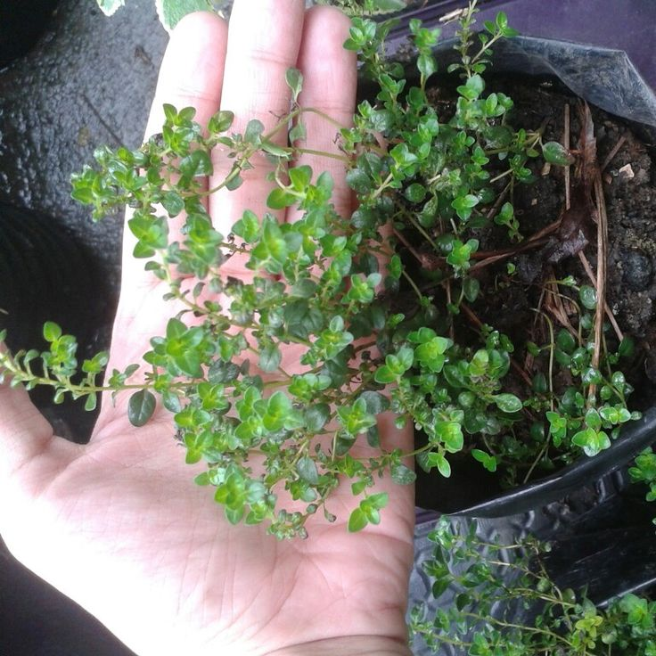 Thyme is perfect for cooking European dishes and beef jerky. It easily pairs with other herbs. It's so small, you don't even need to chop it. ♡ Get it fresh! Price starts at Php60/seedling. Visit www.herbalandherbs.com for more info.