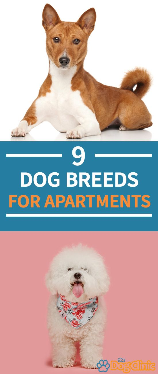 Best Apartment Breeds For Living And They May Not Be The You Expect Dogs Dogbreeds Apartmentdogs