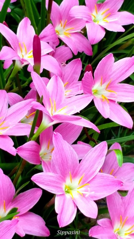 8 best lovely pink flowers images by sippasini barhey on pinterest fairy lily mightylinksfo