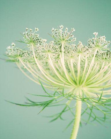Queen Anne's Lace fine art flower photography print by Allison Trentelman | rockytopstudio.com