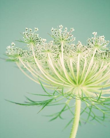 ** Factoid: If Queen Anne's Lace is dried and smoked, one can get a mild buzz from it.- [This from: 'Wild Edible Plants'.