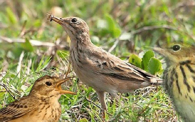 Mengenal 3 Jenis Burung Apung Dan Ciri Khas Yang Dimilikinya Burung Jalak