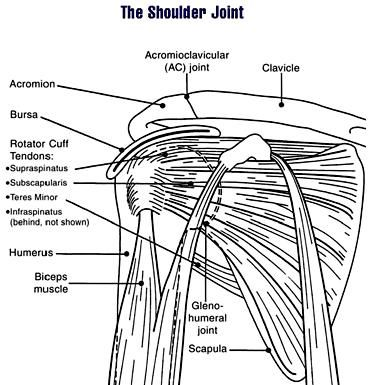 shoulder anatomy, scapula, shoulder impingement, rotator cuff, stretch. rolling
