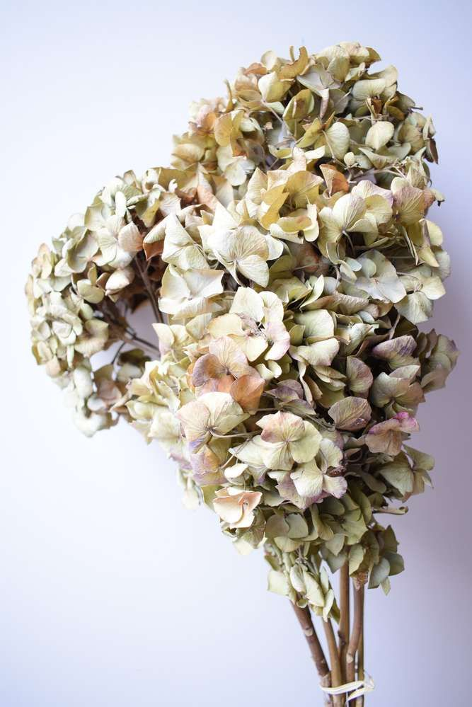 Dried Hydrangea Flower Heads Bouquet Seconds In 2020 Hydrangea Flower Hydrangea