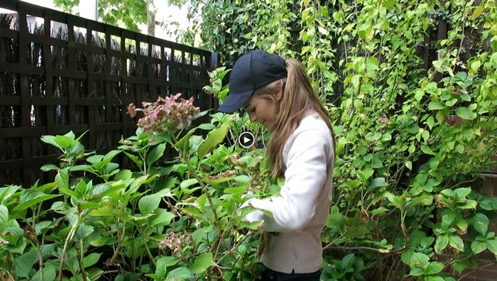 Paisaje libre video de c mo podar hortensias f cilmente - Como podar la hortensia ...