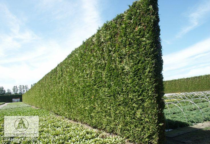 Thuja occidentalis 'Brabant' - Arborvitae, 'Brabant' Arborvitae