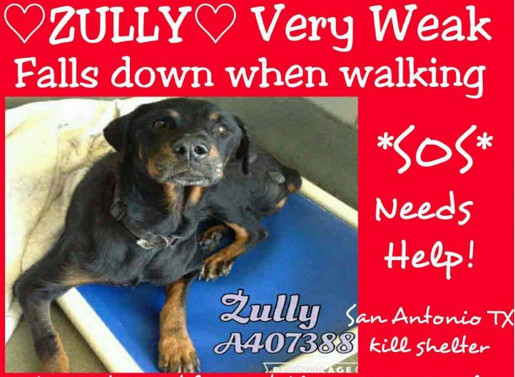SUPER URGENT!!! Along with 2 other Rottweilers will be killed 9:30 A.M. Monday 11/21/16!!! Pls help Zully by sharing her info: San Antonio Animal Care Services at (210) 207-4PET. Ask for information about animal ID number A407388 To adopt call (210) 207-6666 or email acsadoptions@sanantonio.gov. To foster call (210) 207-6669 or email acsrescue-foster@sanantonio.gov. If you are with a rescue group, call (210) 207-8173 or email acsrescue-foster@sanantonio.gov