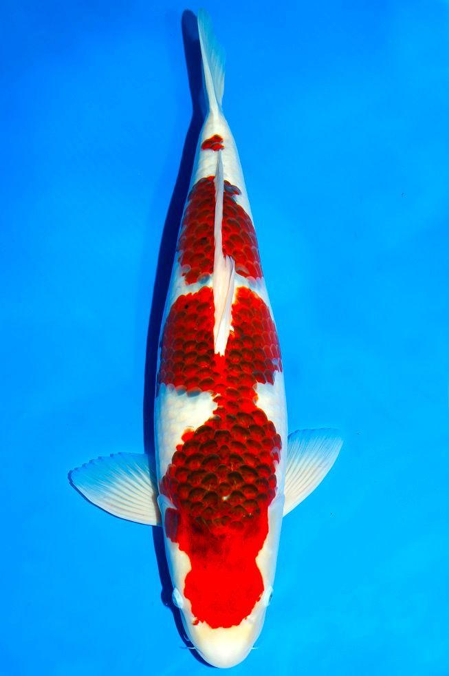 1000 images about koi on pinterest farms fish hatchery for Koi hatchery