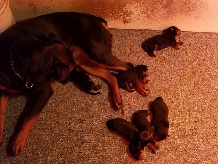 1 week old today. German Rottweiler Puppies,  Black and Mahogany.  Tails and Dew Claws are done.  1000.00. Contact  for more info.  1-541-497-1756.