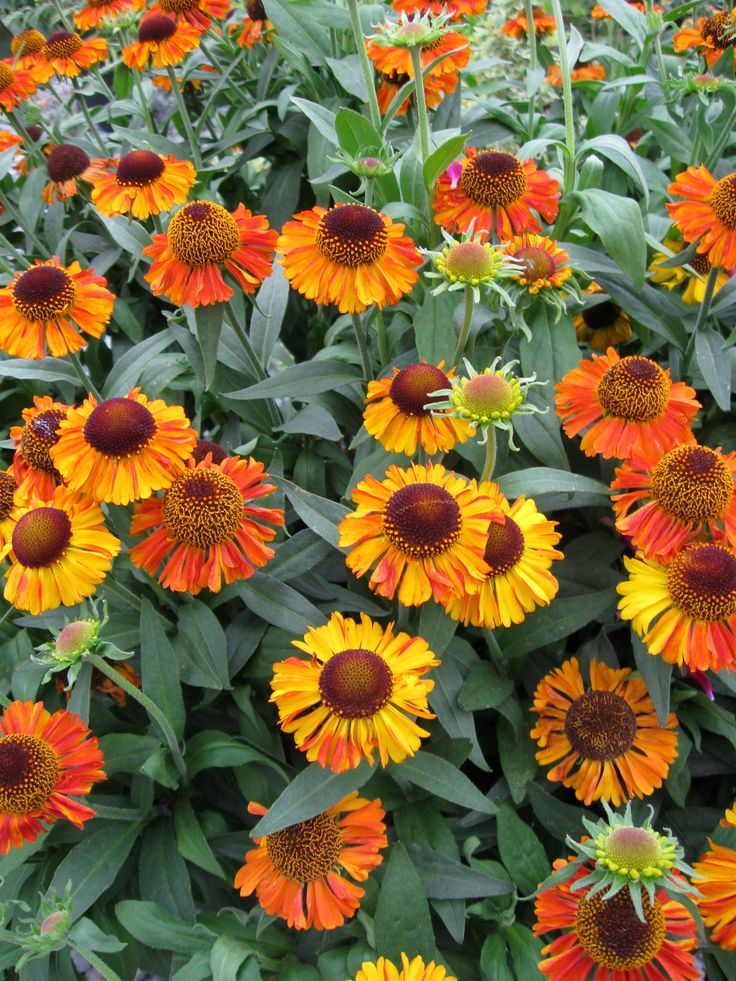 more ideas helenium short n sassy originated at skagit gardens