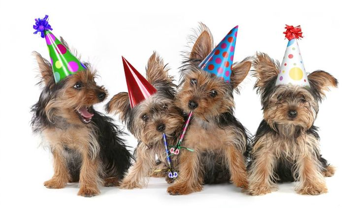 Fun Dog Party Games in 2020 | Yorkshire terrier puppies ...