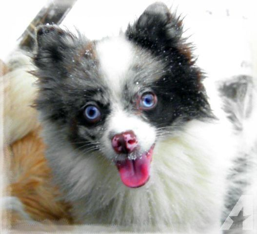 pomeranian eyes 1000 ideas about blue merle pomeranian on pinterest 5254