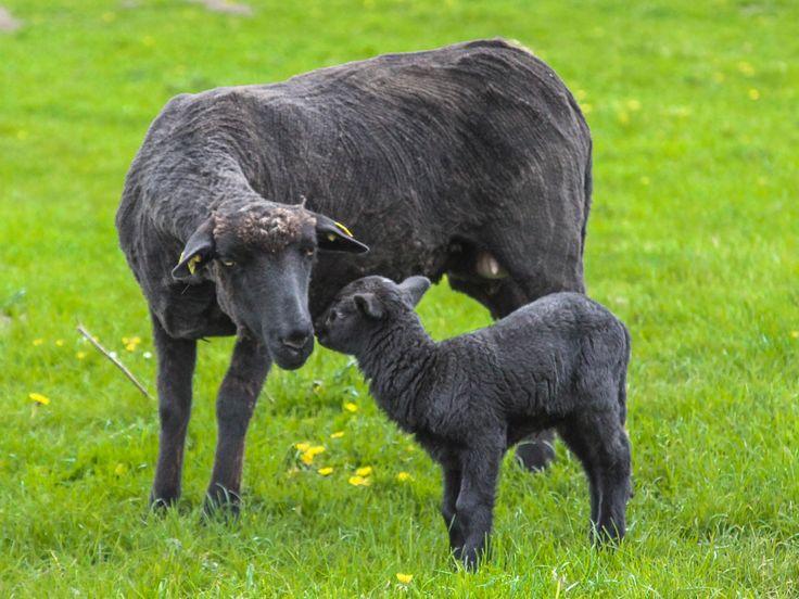Große Freude auf dem Gut Wulksfelde: Nachwuchs bei unseren Schafen. Die kleinen pechschwarzen Lämmchen staksen schon ganz munter auf unserer Hofweide umher.