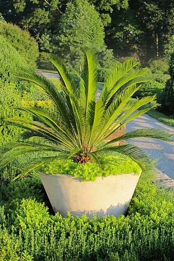 Gorgeous!  Surrounding the cycad  tropical plant is a chartreuse succulent.  from Martha's garden of course.
