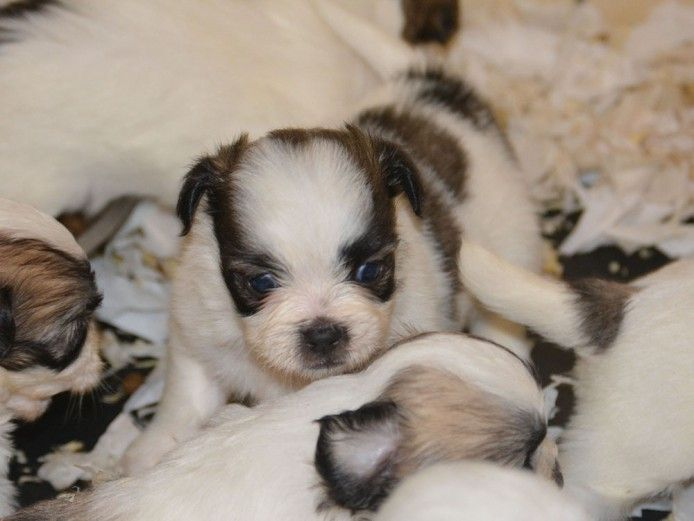 Shichon Puppies For Sale Shichon Puppies Puppies For Sale Shichon Puppies For Sale