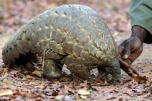A Zimbabwe game reserve guide with Marimba, a female pangolin in care at Wild Is Life animal sanctuary outside of Harare. The world's most illegally trafficked mammal won a total ban on international trade in all species at Cites. Photograph: Jekesai Njikizana/AFP/Getty Images