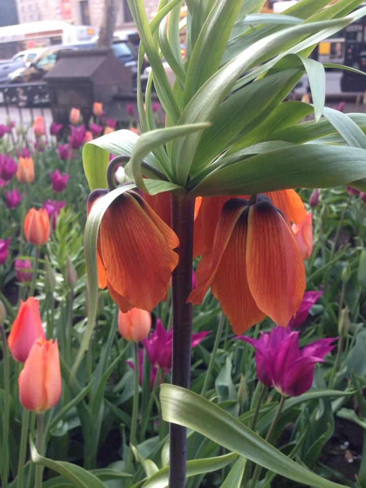 Fritillaria imperialis, tulips 'Perestroika,' and 'Purple Prince,' Old South Church in Boston. Copley Square, Boston. #oldsouthchurch #copleysquare